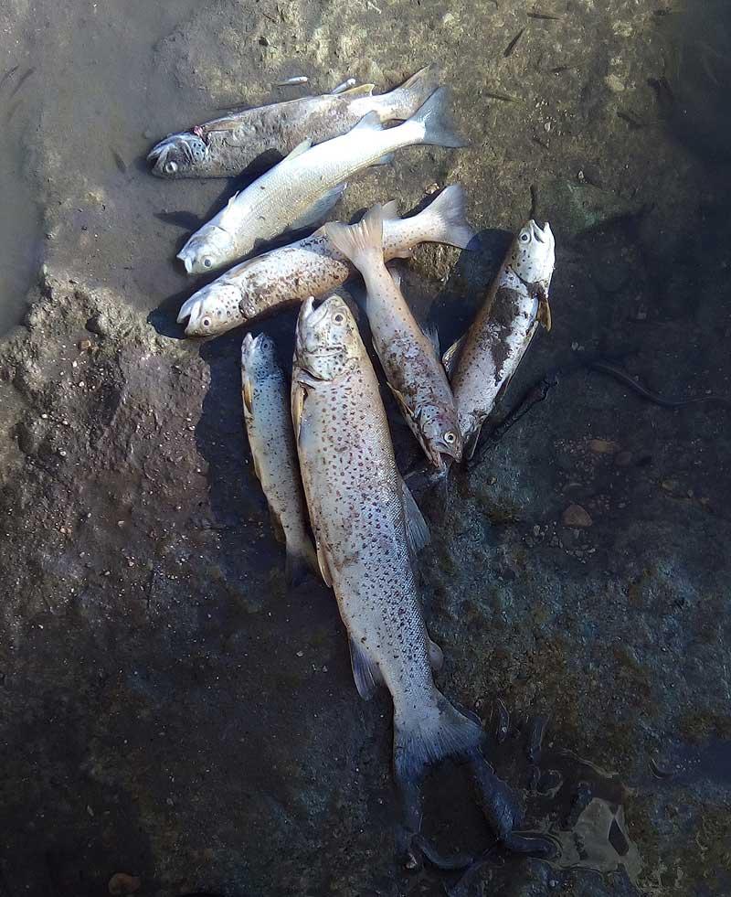 Poissons morts sur la rivière d'Ain