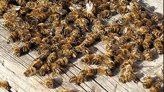 abeilles mortes